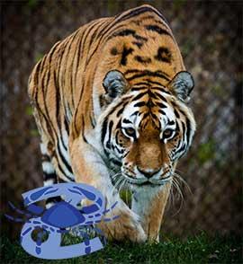 Рак-Тигр характеристика