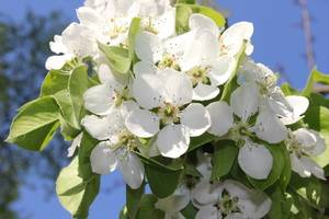 Заговор на яблочные ветви от курения