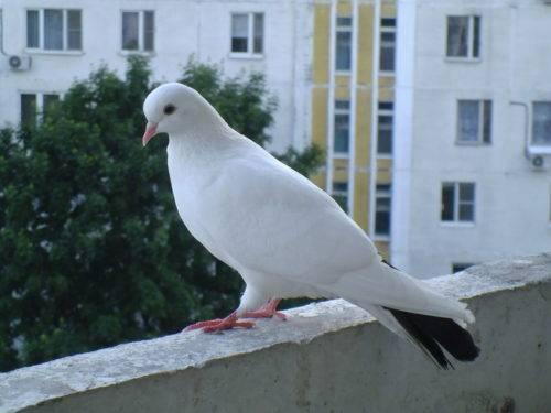 К чему прилетел белый голубь во двор