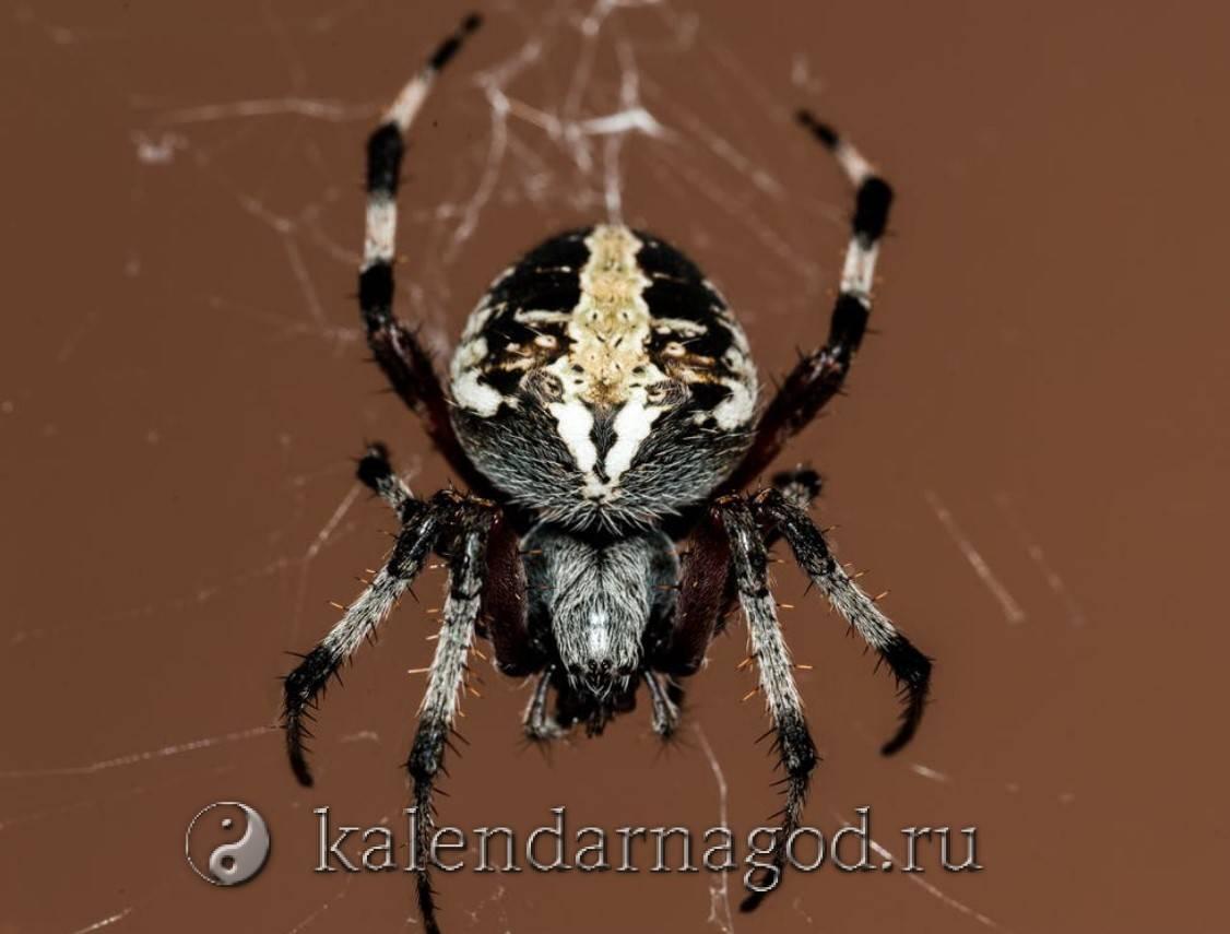 Черный большой паук